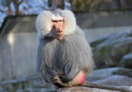 Иммунная система защищает обезьян от СПИДа